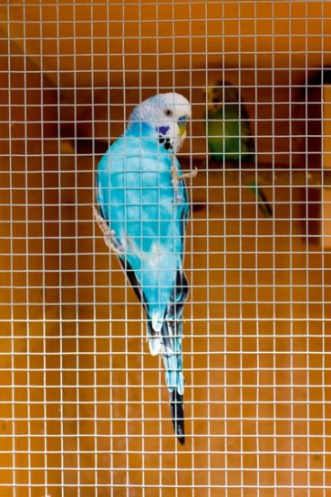Ambassador – Cage and Aviary Panel – 0.6mx0.9m