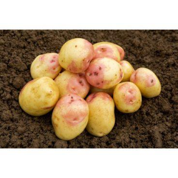 Seed Potatoes – Maincrop – King Edward 2kg
