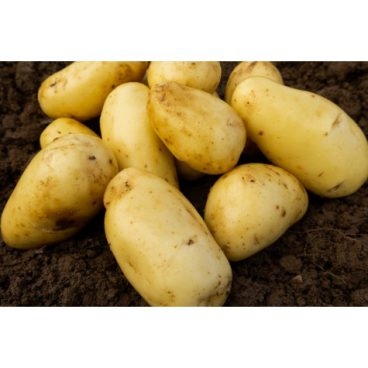 Seed Potatoes – Second Early – Charlotte 2kg