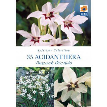 Flower Bulbs – Acidanthera Peacock Ordids – 35pk