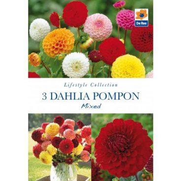 Flower Bulbs – Dahlia Pompon – 3pk